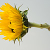 NBa131 - Sunflower (Helianthus sp)