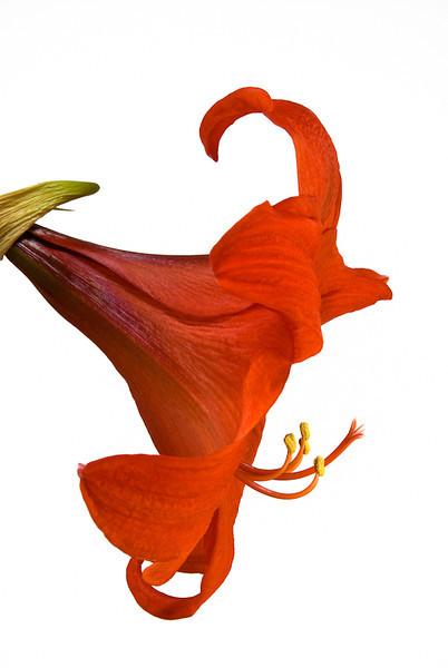 NBa181 - Amaryllis sp.