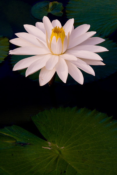 NBa330 - White Waterlilly (Nymphaea sp)