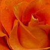 NBa114 - Orange Rose (Rosa sp )