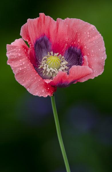 NBa1372 Oriental Poppy Hybrid (Papaver Orientale), Atlanta Botanical Garden, Atlanta, GA