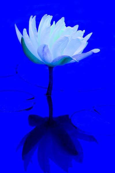 Water Lilly in Blue, (Nymphaea sp.)