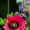 NBa1355 Oriental Poppy Hybrid (Papaver Orientale), Atlanta Botanical Garden, Atlanta, GA_