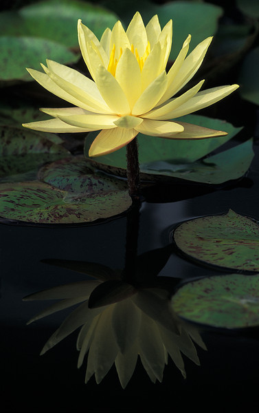 NBa12 - Yellow Water Lilly, (Nymphaea sp.)