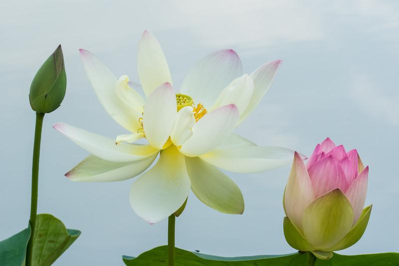 NBa1448 Lotus Flowers (Nelumbo nucifera), Atlanta Botanical Garden, Atlanta, GA