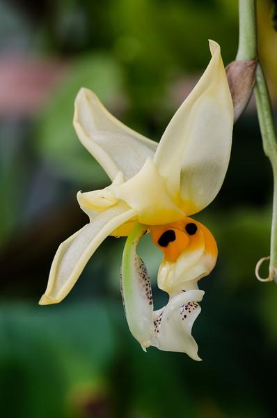 NBa1383 Stanhopea embreei Orchid, Atlanta Botanical Garden, Atlanta, GA_