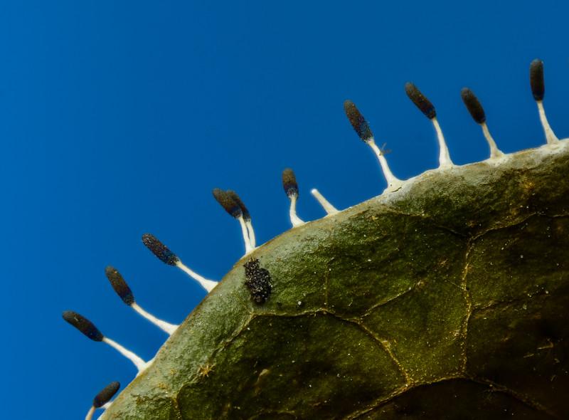 Slime Mold Fruiting Body (Diachea leucopodia)