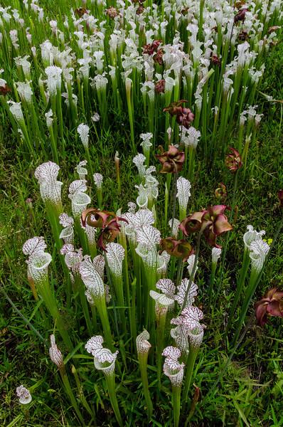 NBa1397  White Pitcher plant (Sarracenia leucophylla), Atlanta Botanical Gardens, Atlanta, GA