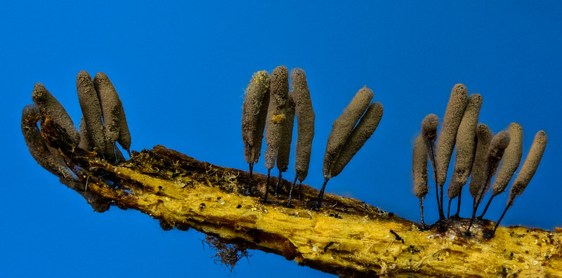 Slime Mold Fruiting Body (Arcyria sp.)