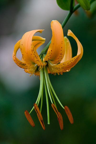 NBa292 - Turk's-cap Lily (Lilium superbum)