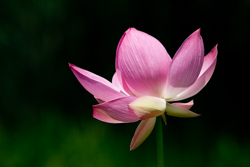 NBa244 - Lotus (Nelumbo nucifera)