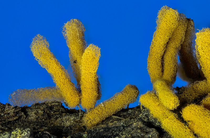 Slime Mold Fruiting Body (Acrya nutans)