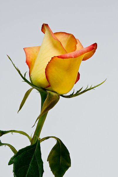 NBa115 - Yellow Rose (Rosa sp.)