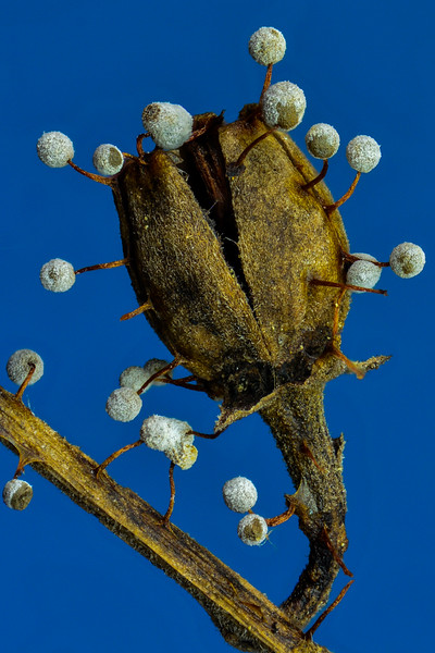 Slime Mold Fruiting Body (Physarum penetrale)