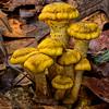 Sulfur Tuft Mushrooms (Naematoloma fasciculare)
