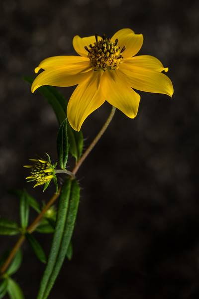 Confederate Yellow Daisey (Helianthus porteri)