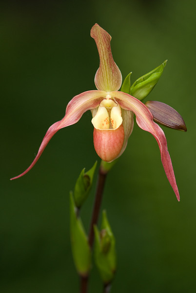 NBa315 - Phragmipedium Orchid (Young Lindley)