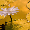 White Waterlilly (Nymphaea sp) -