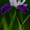 NBa1343 Blue Flag Iris (Iris versicolor), Newman Wetlands Center, Hampton, GA