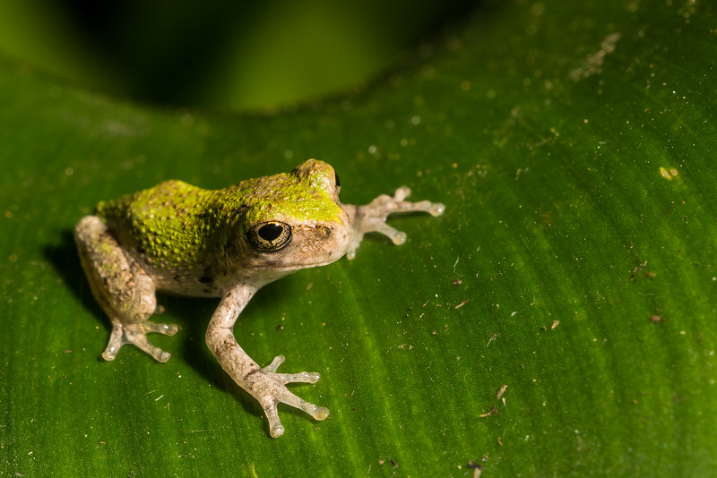 NAc1639 Gray Tree Frog (Hyla versicolor) Juvenile,  Dunwoody, GA