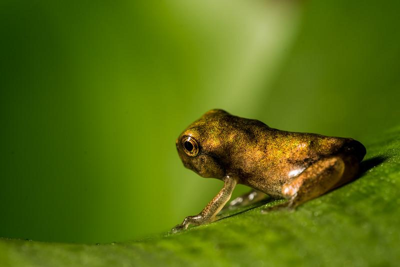 NAc1603 Gray Tree Frog (Hyla versicolor) Juvenile,  Dunwoody, GA