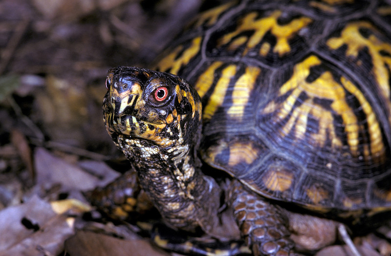 NAc17 - Eastern Box Turtle (Terrapene carolina carolina)