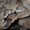 NAc24 - Coppernead (Agkistrodon contortrix)