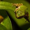 NAc1573 Gray Tree Frog (Hyla versicolor) Juvenile,  Dunwoody, GA