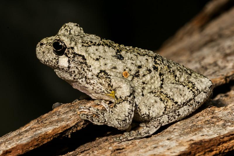 NAc1312 Gray Tree Frog (Hyla versicolor), Dunwoody, GA