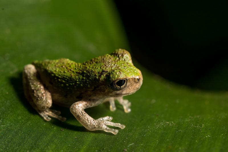 NAc1641 Gray Tree Frog (Hyla versicolor) Juvenile,  Dunwoody, GA