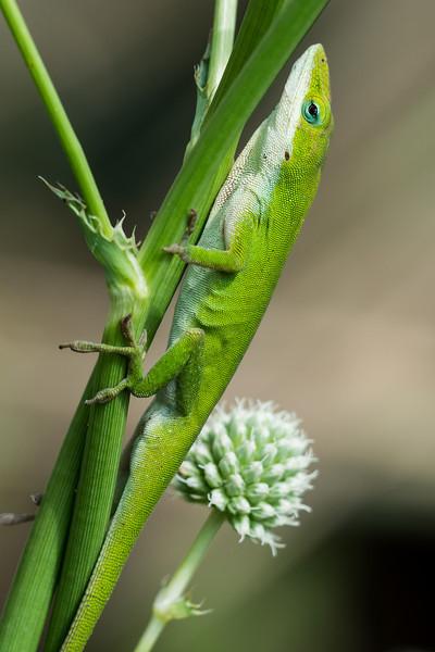 NAc1013 Green Anole (Anolis carolinensis), spring, Atlanta, GA