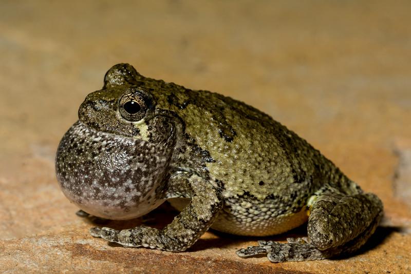 NAc1322 Gray Tree Frog (Hyla versicolor), Dunwoody, GA
