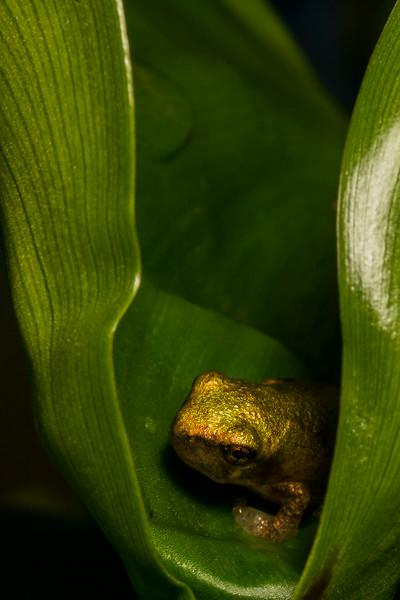 NAc1247 Gray Tree Frog (Hyla versicolor) Juvenile, Dunwoody, GA