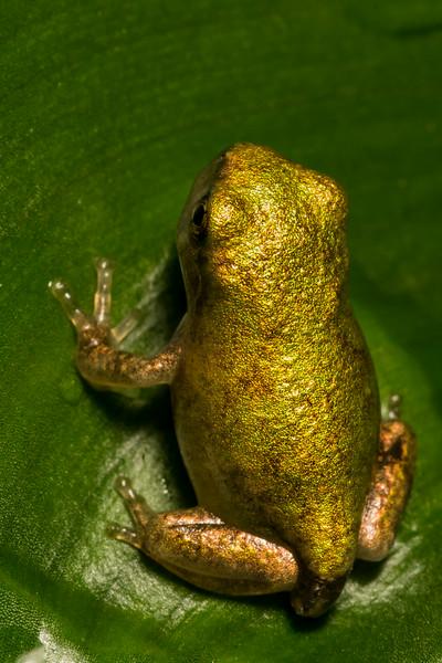NAc1251 Gray Tree Frog (Hyla versicolor) Juvenile, Dunwoody, GA