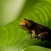 NAc1593 Gray Tree Frog (Hyla versicolor) Juvenile,  Dunwoody, GA