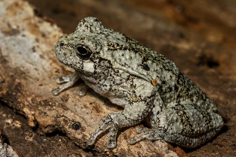 NAc1309 Gray Tree Frog (Hyla versicolor), Dunwoody, GA