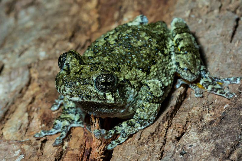 NAc1308 Gray Tree Frog (Hyla versicolor), Dunwoody, GA