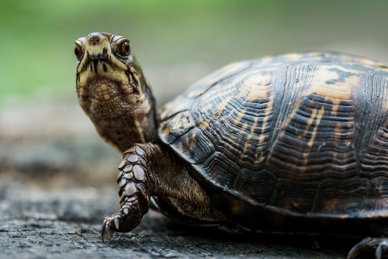 NAc1023 Eastern Box Turtle (Terrapene carolina), female, spring, Atlanta, GA