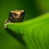 NAc1224 Gray Tree Frog (Hyla versicolor) Juvenile, Dunwoody, GA