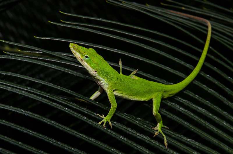 NAc1058 Green Anole (Anolis carolinensis), spring, Atlanta, GA