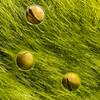 Gray Treefrog (Hyla versicolor) Eggs