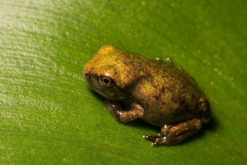 NAc1499 Gray Tree Frog (Hyla versicolor) Juvenile,  Dunwoody, GA