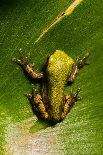 NAc1506 Tree Frog (Hyla versicolor) Juvenile,  Dunwoody, GA