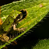 NAc1571 Gray Tree Frog (Hyla versicolor) Juvenile,  Dunwoody, GA