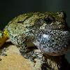 NAc1330 Gray Tree Frog (Hyla versicolor), Dunwoody, GA