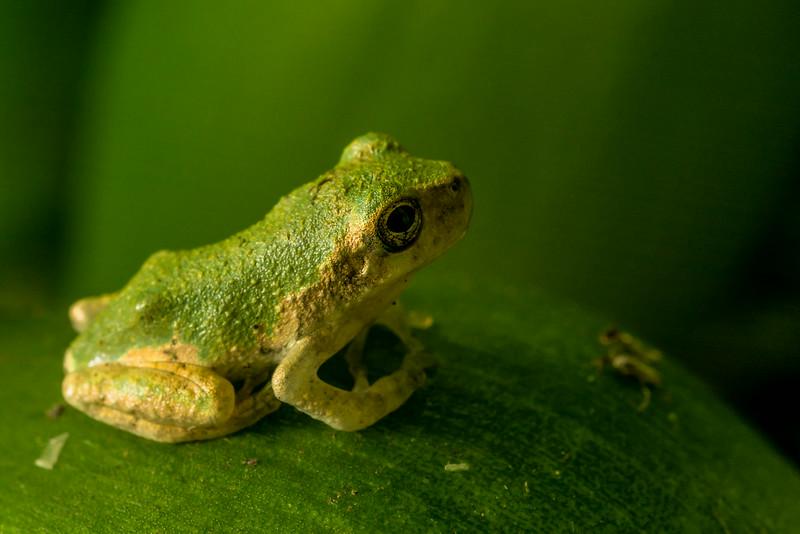 NAc1451 Gray Tree Frog (Hyla versicolor) Juvenile,  Dunwoody, GA