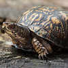 NAc1020 Eastern Box Turtle (Terrapene carolina), female, spring, Atlanta, GA