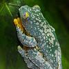 NAc1010 Fringed Leaf Frogs (Cruziohyla craspedopus), Atlanta Botanical Garden, Atlanta, GA