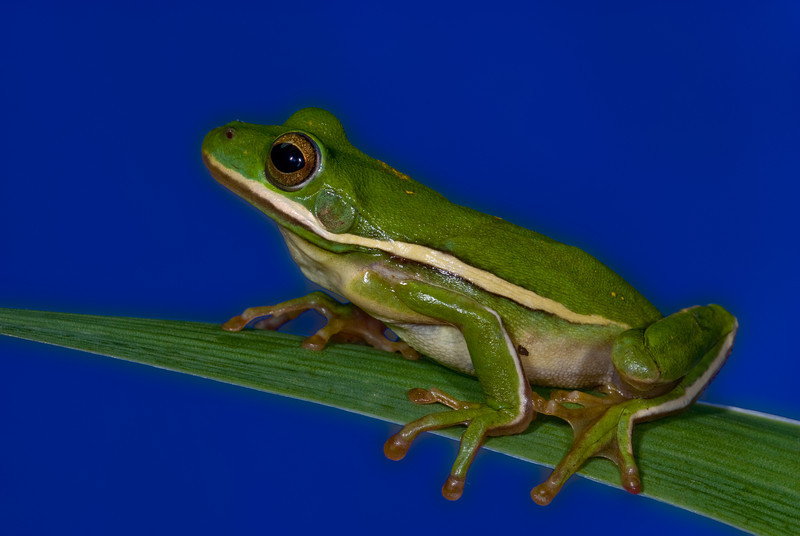 NAc85 - Green Tree Frog (Hyla cinerea)