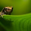 NAc1229 Gray Tree Frog (Hyla versicolor) Juvenile, Dunwoody, GA